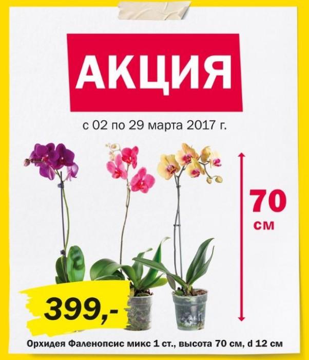 К-Раута - Акция на орхидею Фаленопсис
