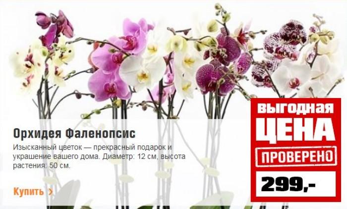 Акция в ОБИ. Орхидея Фаленопсис по сниженной цене